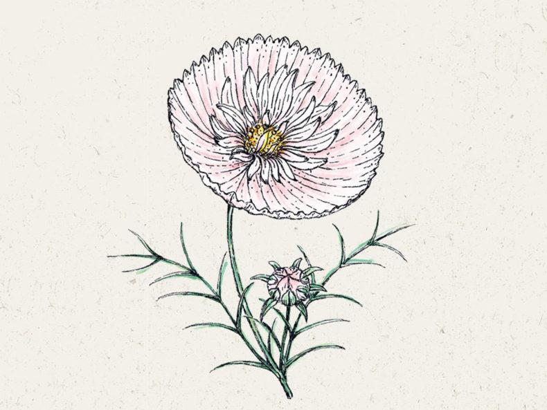Kosmee Blumensamen kaufen