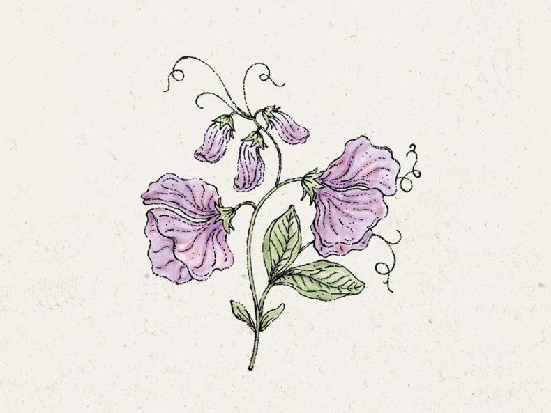 JORA DAHL Elegance Lavender Duftwicke Blumensamen