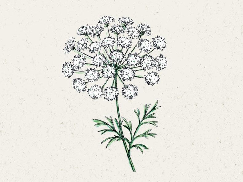 Jora Dahl Blumensamen: Knorpelmöhre Ammi majus