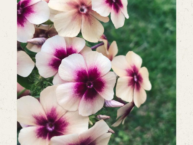 Jora Dahl Blumensamen Sommer Phlox