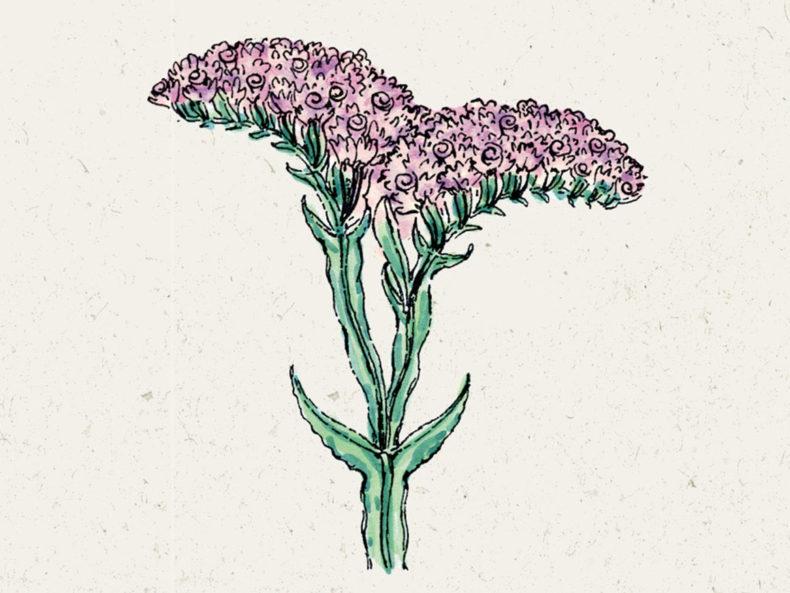 Blumensamen Jora Dahl