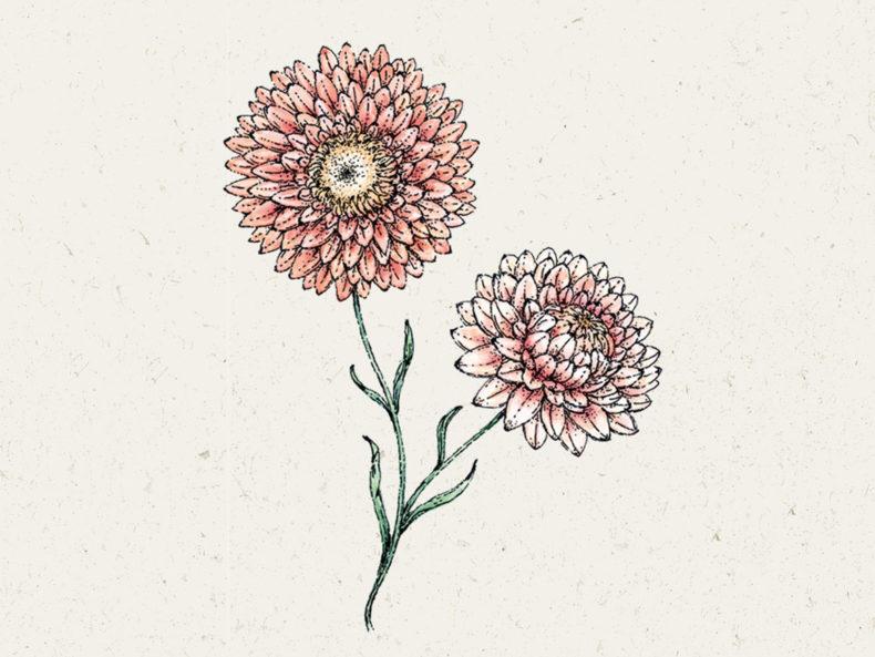 "Jora Dahl Blumensamen Strohblume ""Salmon Rose"""
