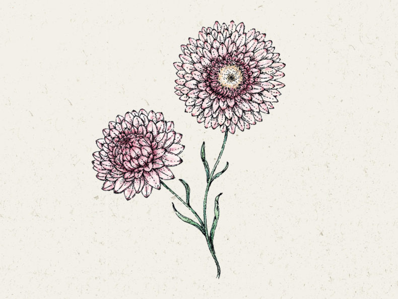 "Jora Dahl Blumensamen Strohblume ""Silvery-Rose"""