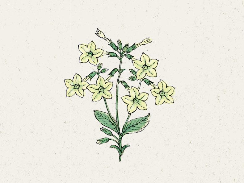 Jora Dahl Blumensamen: Ziertabak