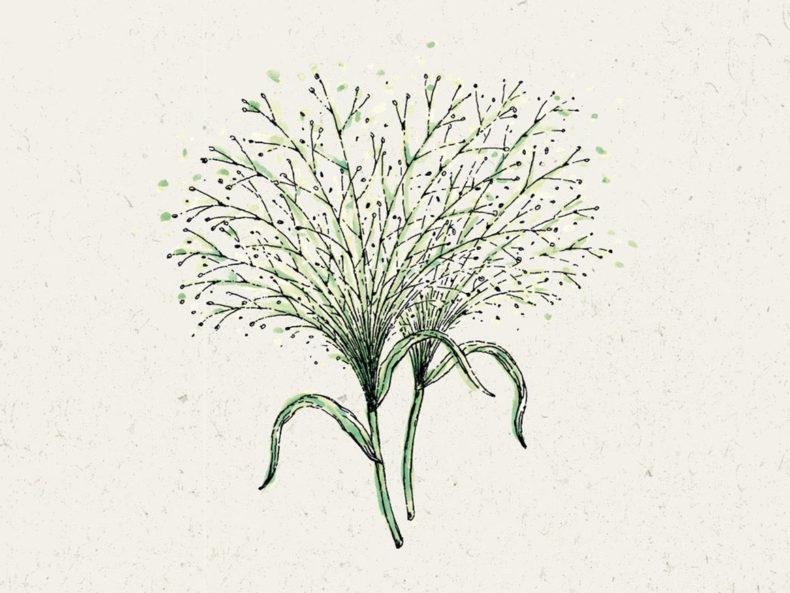 Rutenhirse Blumensamen kaufen